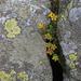 Orobanche flava - martilapu vajvirág