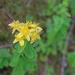 Hypericum maculatum - pettyes orbáncfű