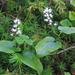 Maianthemum bifolium - kétlevelű árnyékvirág