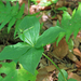 Paris quadrifolia - négylevelű farkasszőlő