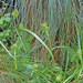Carex flava - sárgás sás