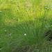 Eriophorum vaginatum - hüvelyes gyapjúsás