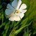 mécsvirág