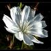 katáng virág