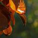 körtefa levelek