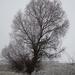 a magányos fűzfa