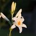 liliomvirág