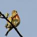 Kenderike (hím) Carduelis cannabina