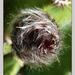 kaktusz bimbó