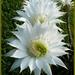 kaktusz virágok