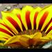 napvirág