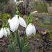tavasz hírnökei
