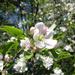 almafavirág