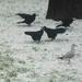 Album - szárnyasok - madarak- vadkacsák - sziget madarai