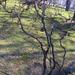 Tacsinak girbegurba valami - Csavart mogyoró, Corylus avellana '