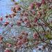virágzó magnólia