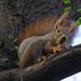 mi van, nem láttál még mókust?