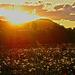 lemegy a Nap a pitypangmező felett