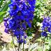 szarkaláb virágoskertben