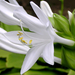 fehér liliomszál