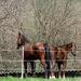 két ló egy farokkal