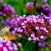 virágporos a kacsafarkú szender szívószálja