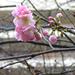 novemberi cseresznyefa virágzás
