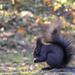 sötét szőrű mókuska