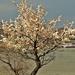 virágzó bokor a Duna parton