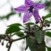 paprikavirág