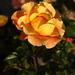 szigeti sárga (őszi)rózsa