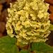 virágzó hortenzia novemberben