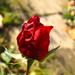 viruló őszi rózsa végnapjai