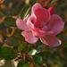 a kis rózsaszín