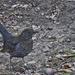 feketerigóné