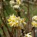bimbós edgeworthia chrysanta