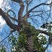 Síva fája