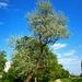 görbe fa a Rákos patak partján