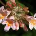 kolkwitzia amabilis- kínai viráglonc