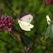 egy lepke meg egy lepke=két pillangó