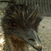 kócoska - emu portré