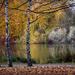 Nyírfák közt az ősz