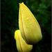 Tulipán 3.