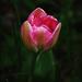 Tulipán 2.