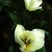 Tulipán 1.