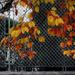 A kerítés dísze