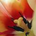 Bibe parádé-tulipán