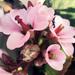 Bőrlevél virága