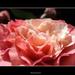 Kiara rózsája