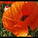 Album - vadvirágok,gyógynövények
